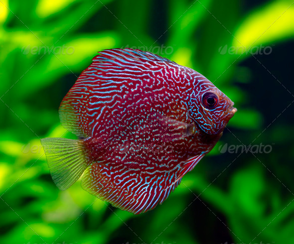 Snakeskin Discus Fish - Stock Photo - Images