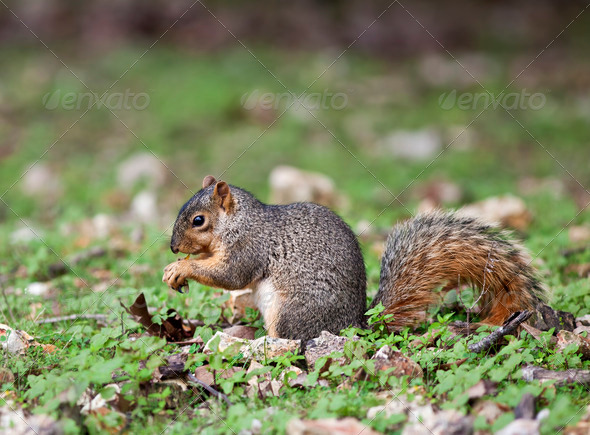 Eastern Fox Squirrel - Stock Photo - Images