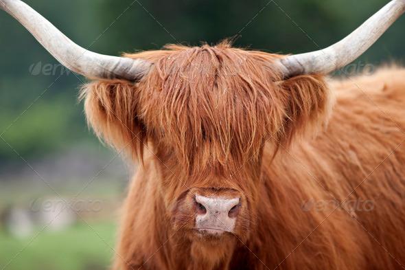 Highland Cattle - Stock Photo - Images