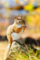 Cute red squirrel eating nut - PhotoDune Item for Sale