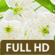 Cherry Flower 2 - VideoHive Item for Sale