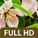 Quince Flower 3 - VideoHive Item for Sale