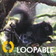 Black Squirrel HD Loop - VideoHive Item for Sale