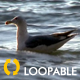 Floating Seagull HD Loop - VideoHive Item for Sale