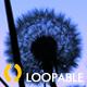 Dandelion Silhouette Loop - VideoHive Item for Sale