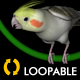 Cockatiel - Loop - VideoHive Item for Sale