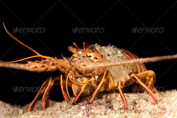 Lobster - Stock Photo - Images