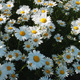Daisy Field 6 - VideoHive Item for Sale