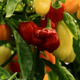 Colorful Chili Peppers - VideoHive Item for Sale