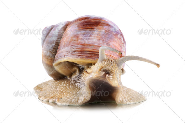 Big garden snail - Stock Photo - Images