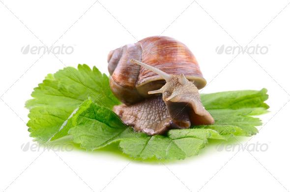 Helix Aspersa snail - Stock Photo - Images
