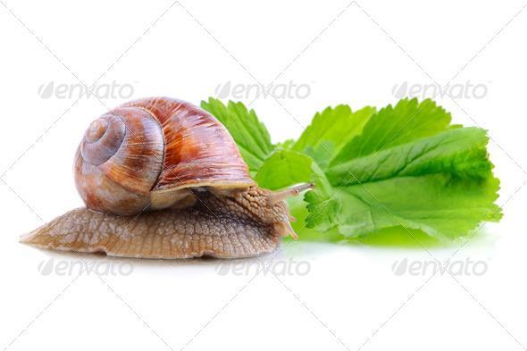 Snail on green leaf - Stock Photo - Images
