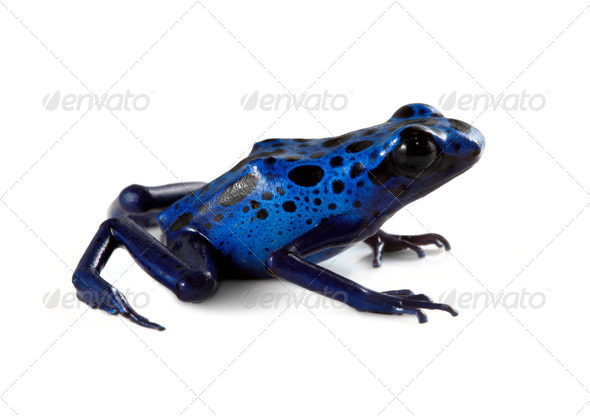 Blue Poison Dart Frog - Stock Photo - Images