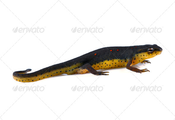 Eastern Newt - Stock Photo - Images