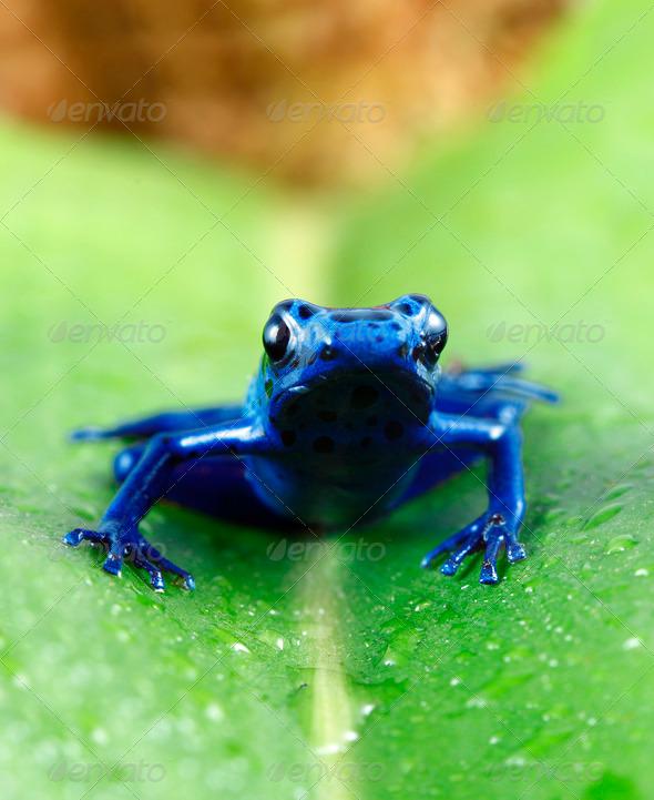 Blue Poison Dart Frog - Stock Photo - Images