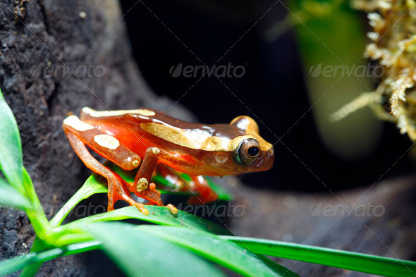 Clown Tree Frog - Stock Photo - Images