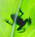 Poison Dart Frog - PhotoDune Item for Sale