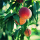 Peaches on Tree - VideoHive Item for Sale