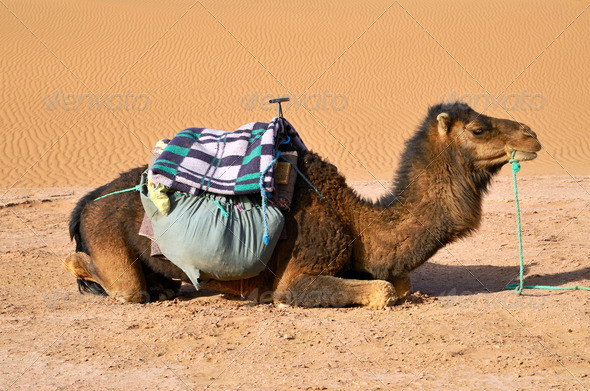 Brown dromedary - Stock Photo - Images