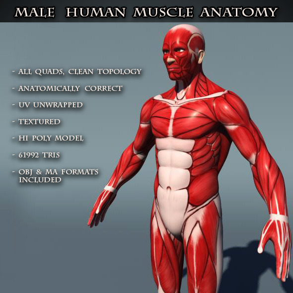 Human Male Muscle Anatomy By Amardeep 3docean