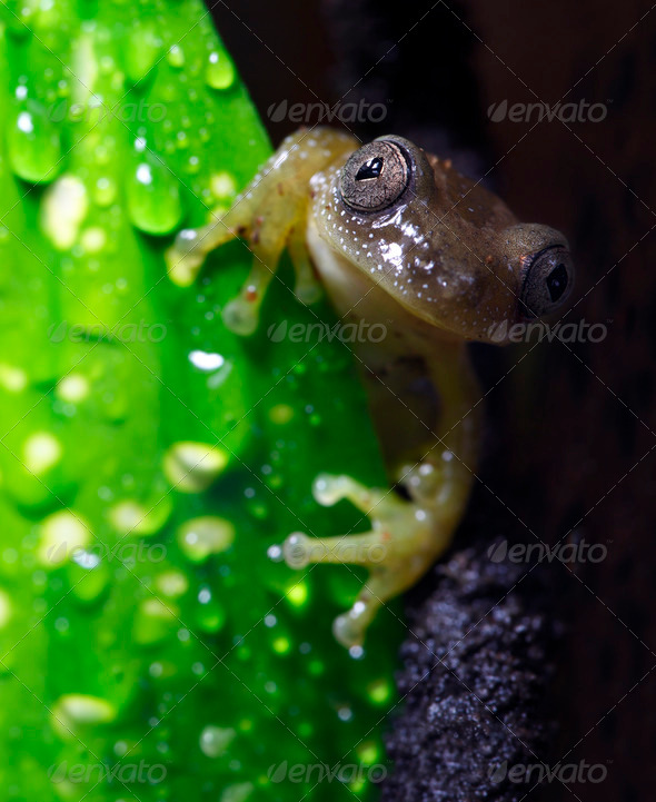 Reed Frog - Stock Photo - Images