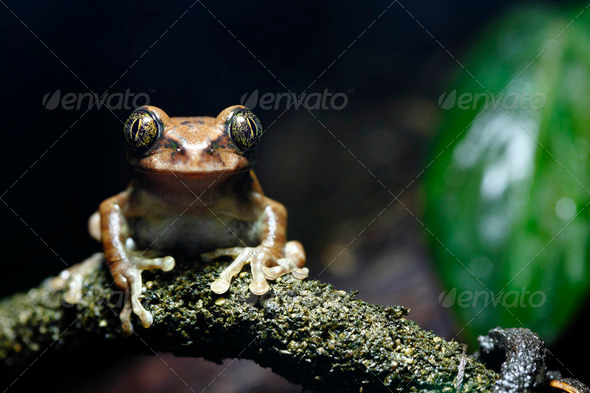 Peacock Frog - Stock Photo - Images