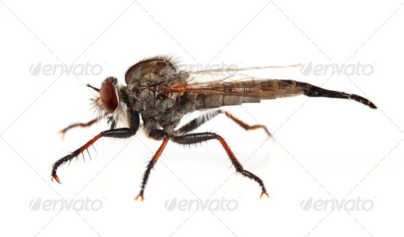 Robber Fly - Stock Photo - Images