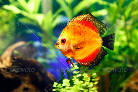 Fire Red Discus Fish - Stock Photo - Images