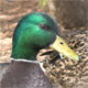 Mallard Duck Closeup - VideoHive Item for Sale