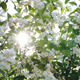Sun Shining Through The Blooming Apple Tree - VideoHive Item for Sale