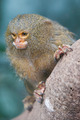 Pygmy Marmoset - PhotoDune Item for Sale