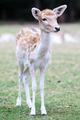 Young Deer Staring - PhotoDune Item for Sale