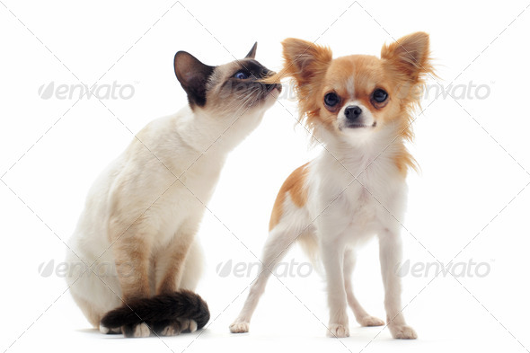 puppy chihuahua and siamese kitten - Stock Photo - Images