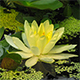 Opening Of Water Lily Flower  - VideoHive Item for Sale