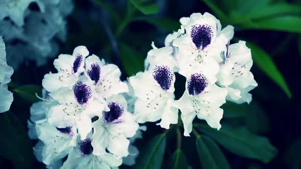 White flowers of rhododendrons in the garden by joachim ch videohive play preview video mightylinksfo