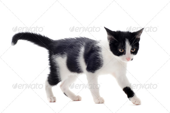 black and white kitten - Stock Photo - Images