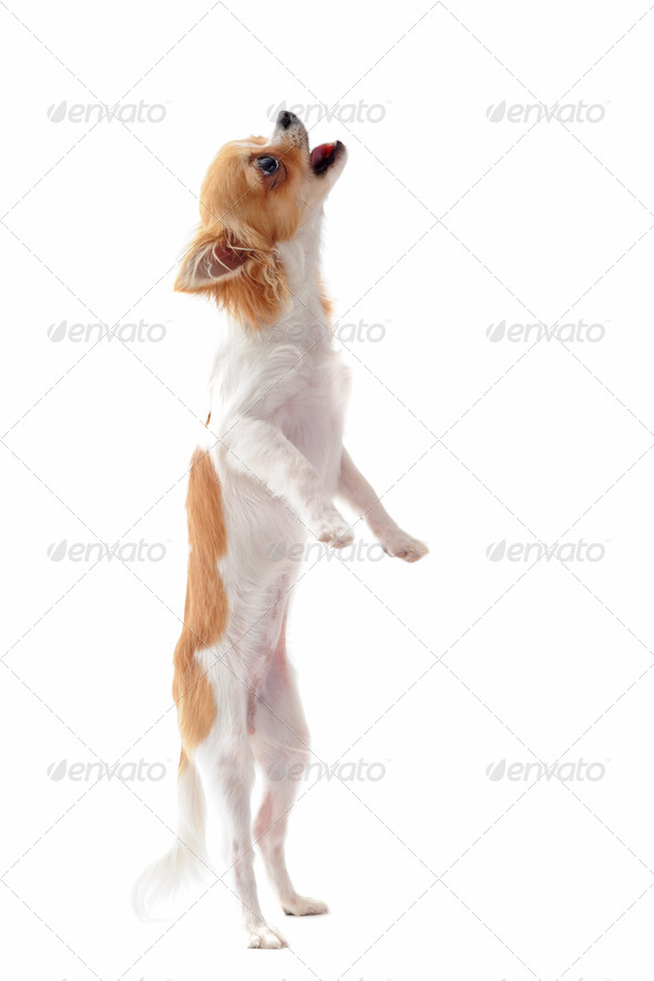 puppy chihuahua upright - Stock Photo - Images