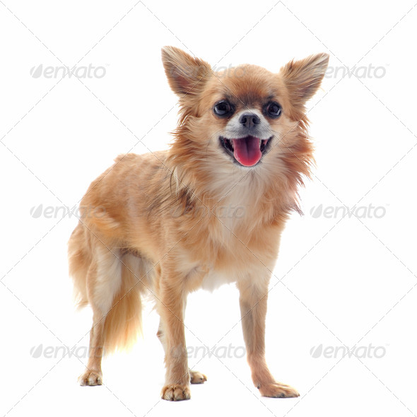 brown chihuahua - Stock Photo - Images