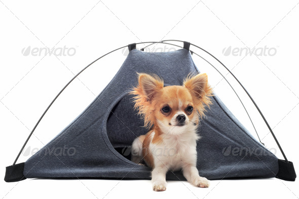 puppy chihuahua in camp tent - Stock Photo - Images