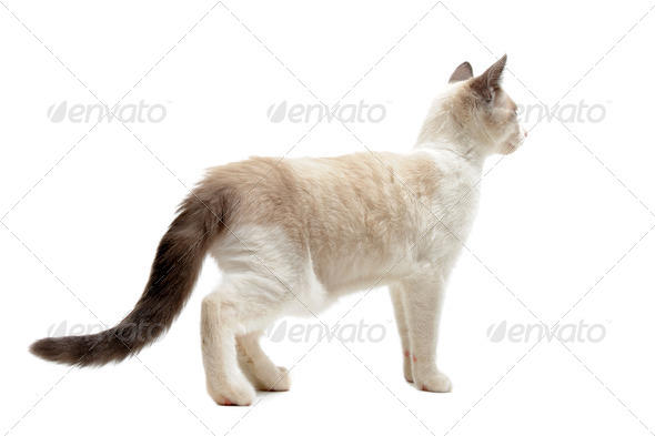 back view of Siamese kitten - Stock Photo - Images