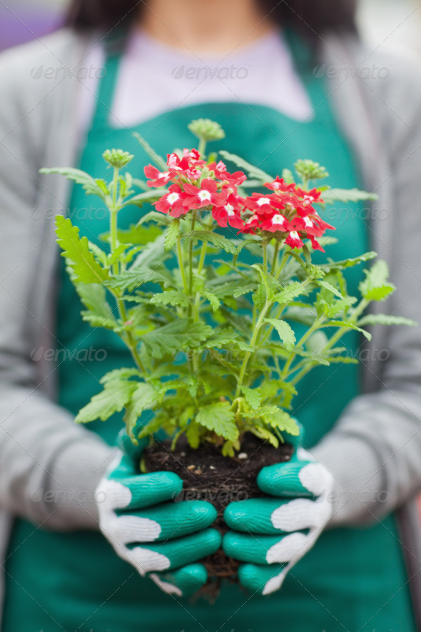Woman working in garden center holding plant out of it pot - Stock Photo - Images