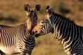Cape Mountain Zebras