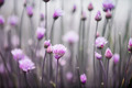 Flowering chives - PhotoDune Item for Sale