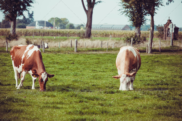 Cows on meadow with green grass. Grazing calves - Stock Photo - Images