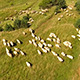 Aerial Footage With Sheep in Field - VideoHive Item for Sale