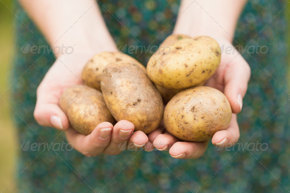 Hands holding some home grown organic potatoes - Stock Photo - Images