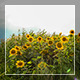 Field With Corn And Sunflower - VideoHive Item for Sale