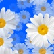Daisy  - VideoHive Item for Sale