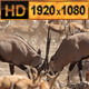 Oryx Fighting Wild Africa - VideoHive Item for Sale