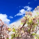 Branch Of A Blossoming Cherry Tree - VideoHive Item for Sale